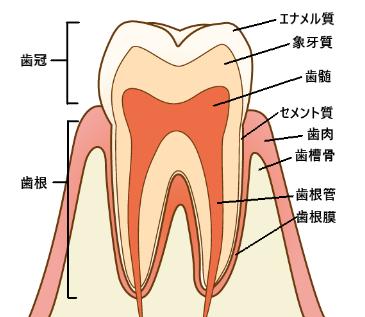 けむっし~ブログ 歯の仕組み